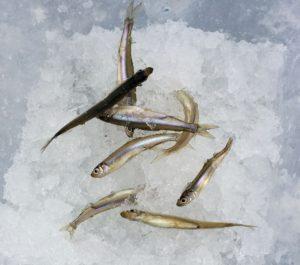 氷上穴釣りで釣れたワカサギ